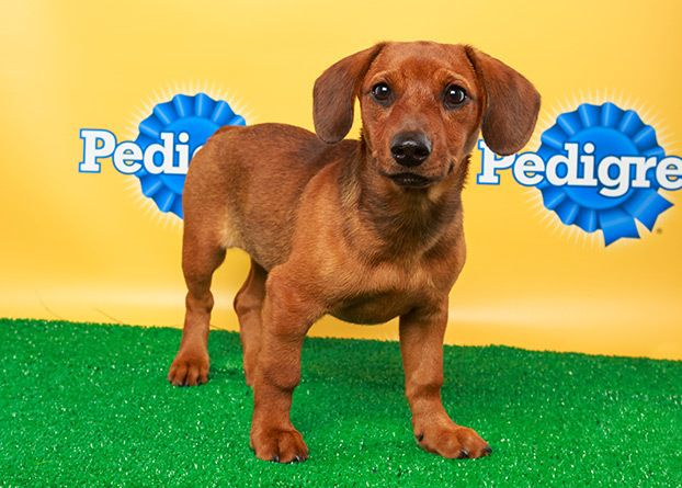 Puppy Bowl X Starting Lineup Puppies Dachshund Mix Animals