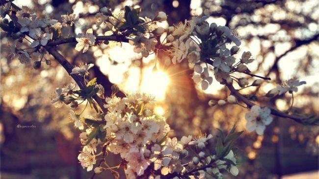 HD Hintergrundbilder Frühling Blumen Zweig Blüte, Desktop