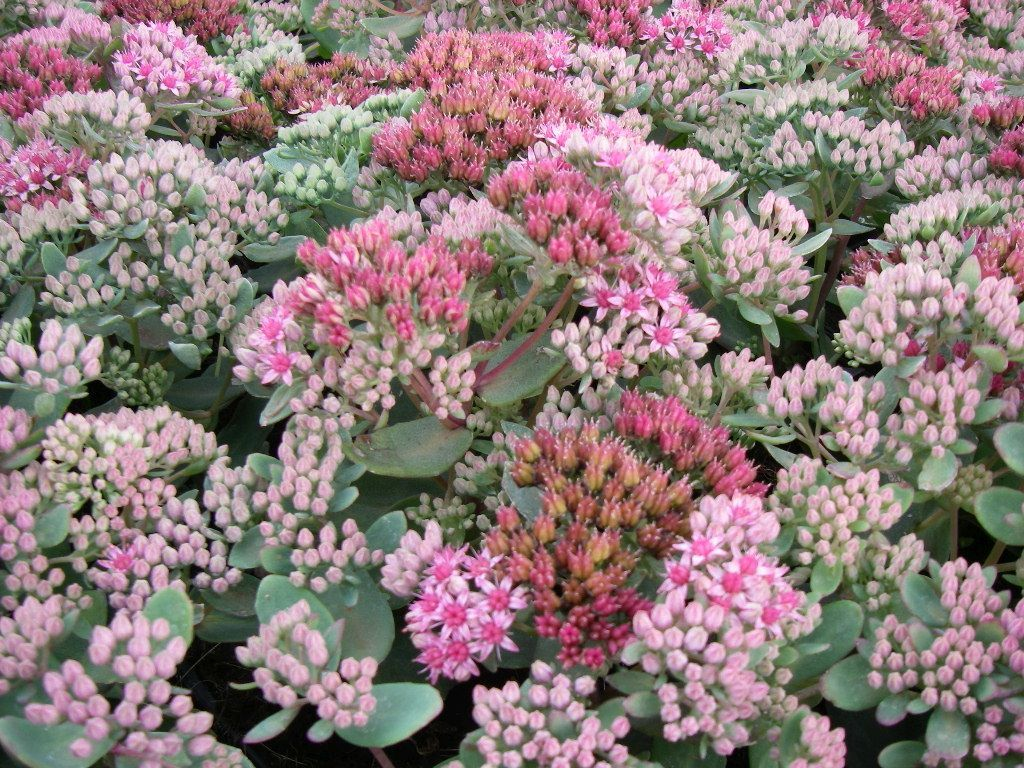 Sedum Abbeydore 4550cm Rosy Pink Flowers Late Bloomer Not