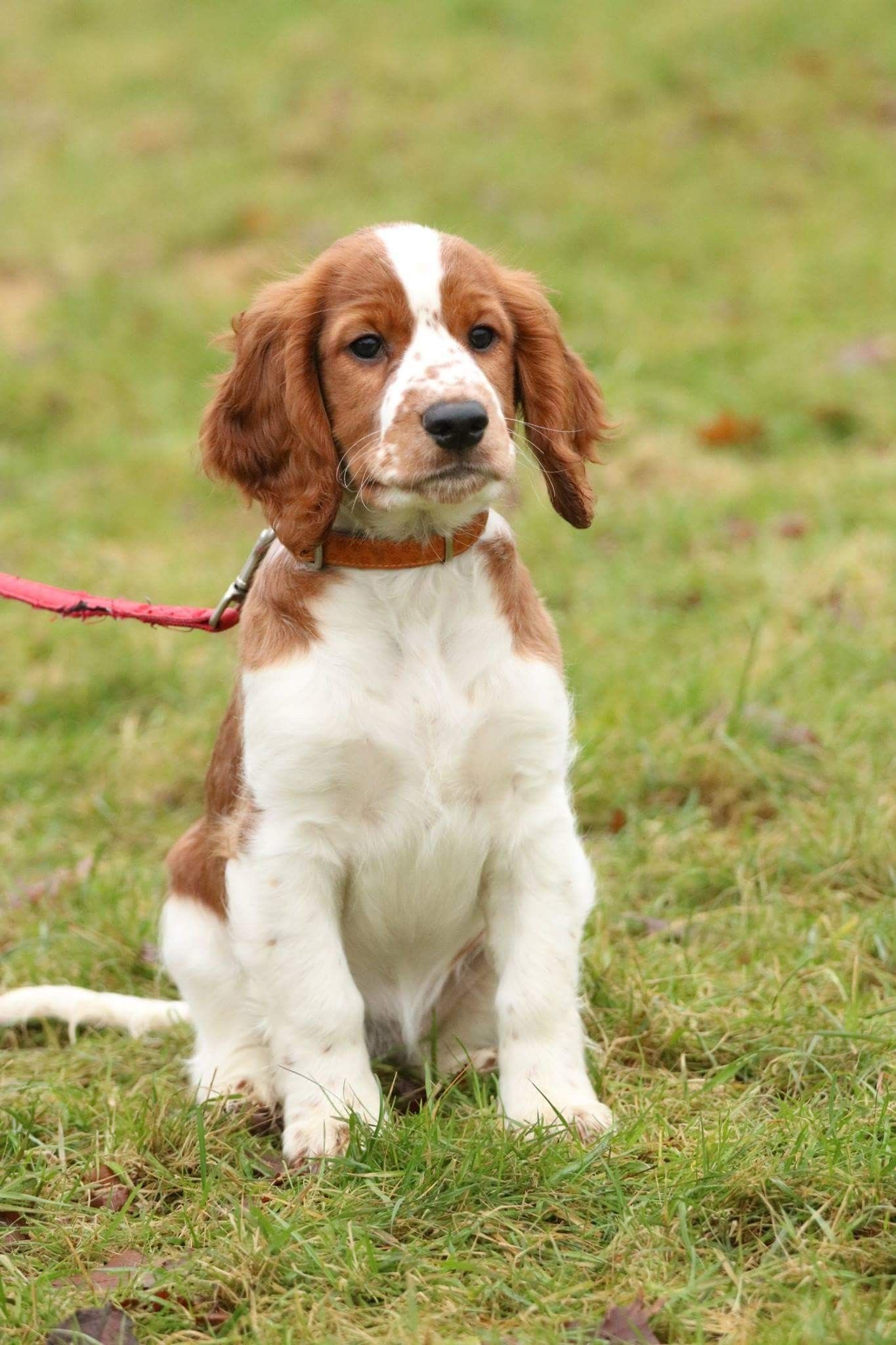 Kim Fan T Detica Welsh Springer Spaniel Welsh Springer Spaniel Dog Obsessed Springer Spaniel Puppies