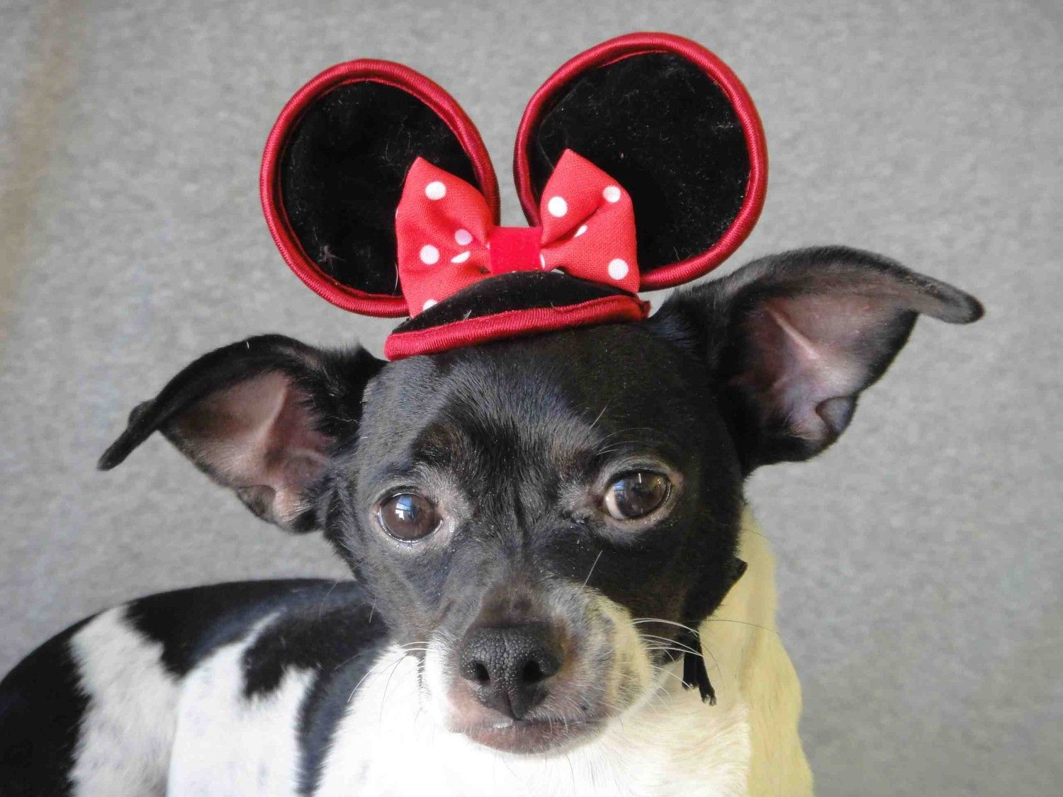 Mini mouse hat for dog of cat. 12.50, via Etsy. Dog hat