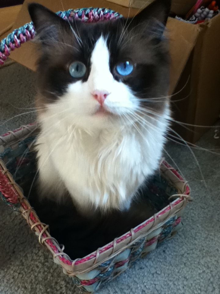 My Ragdoll Cat Andy Cute Baby Cats Baby Cats
