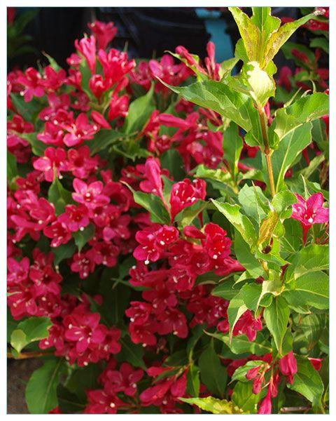 Krzewuszka Cudowna Red Prince Weigela Florida P9 6601 Weigela Red Prince Garden Flowers