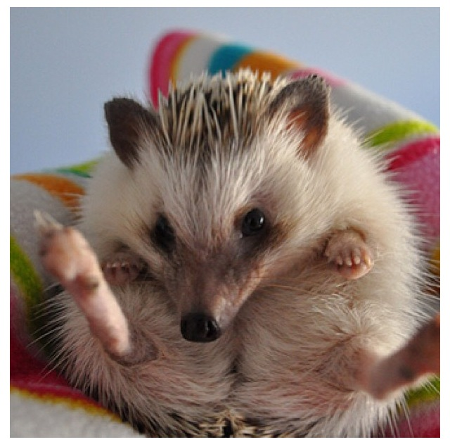 Hedgehog | Cute animals, Animals amazing, Baby animals