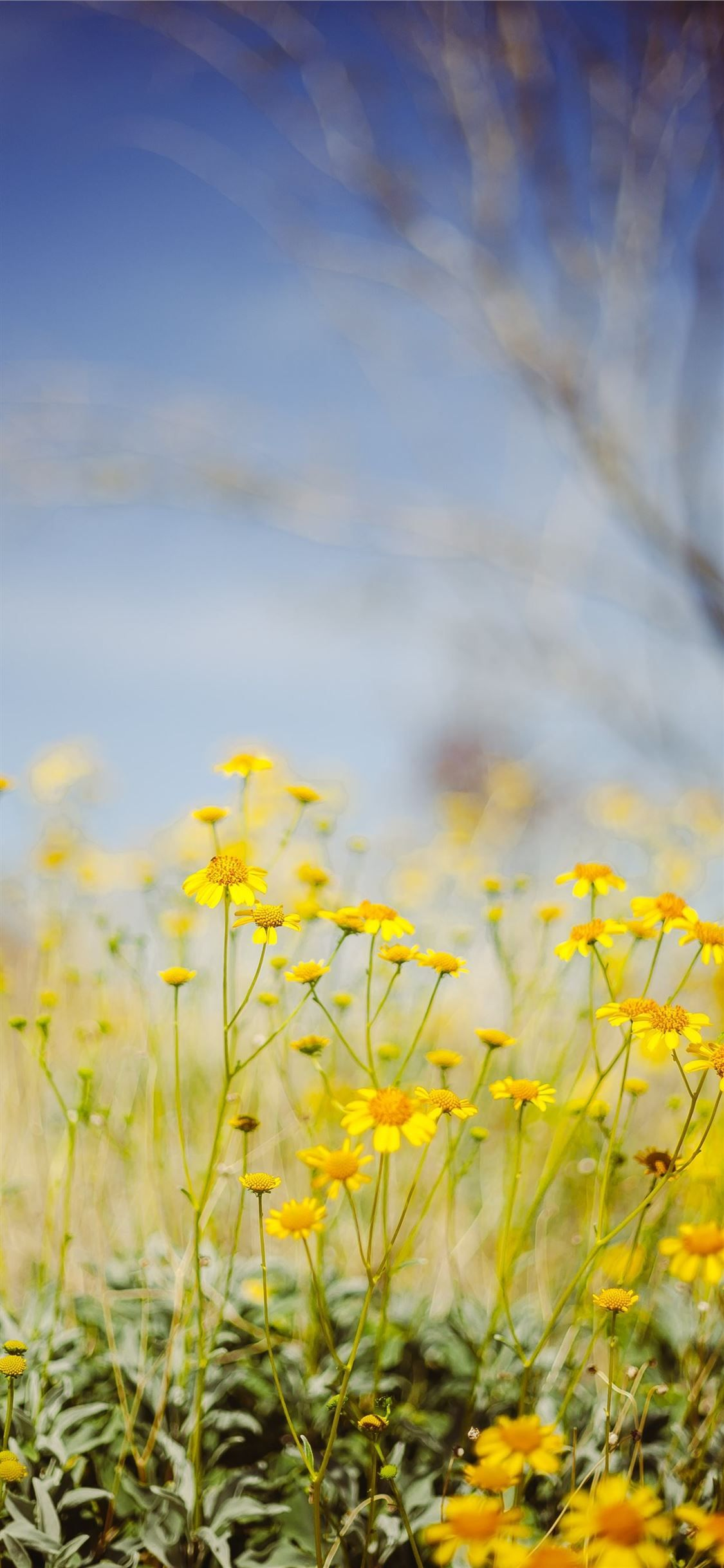 Yellow Flower Field Under Blue Sky During Daytime Nature Iphone11wallpaper In 2020 Flower Field Yellow Flower Wallpaper Yellow Flowers