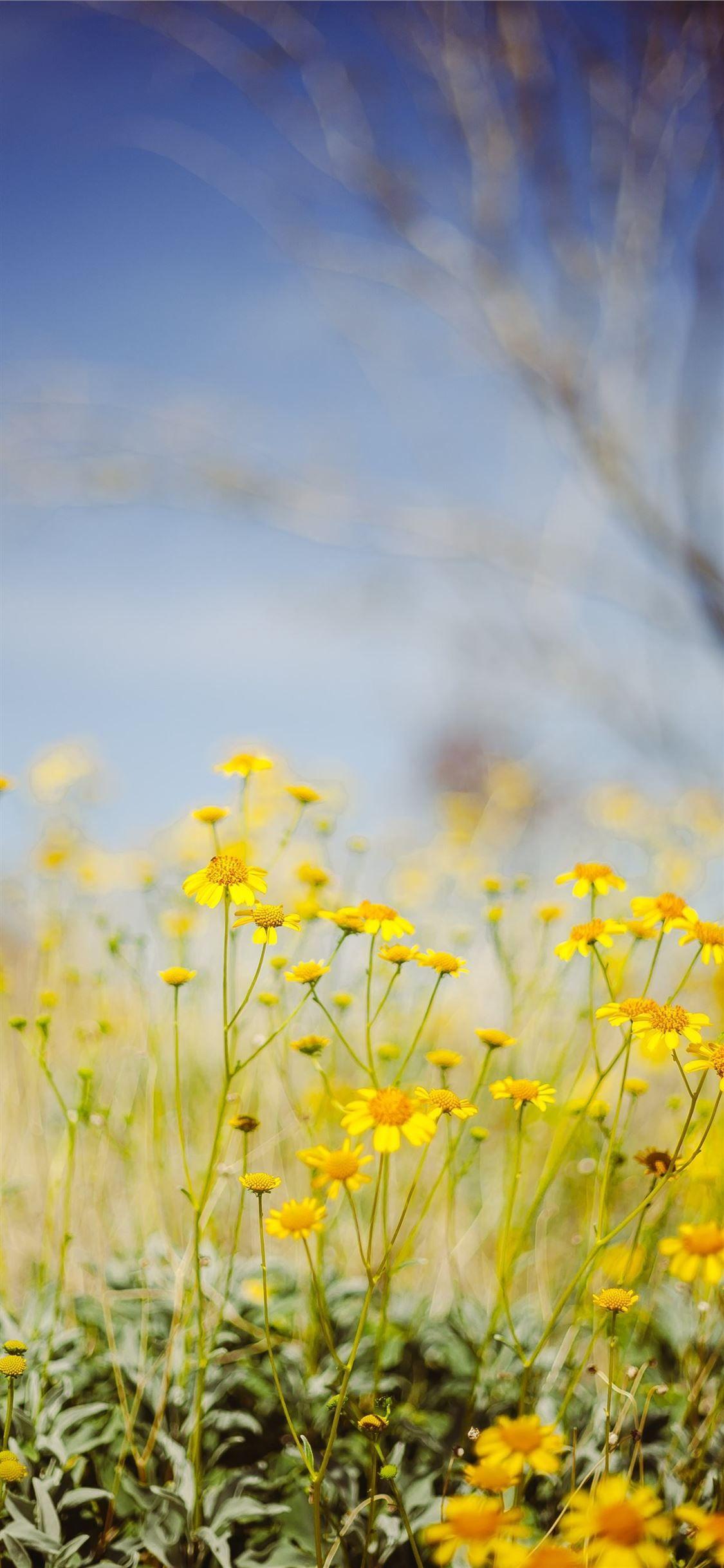 Yellow Flower Field Under Blue Sky During Daytime Nature Iphone11wallpaper Flower Field Yellow Flower Wallpaper Flower Background Wallpaper