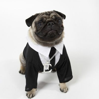 Pug Wearing Shirt Tie And Necklace Photographic Print Pugs Pug