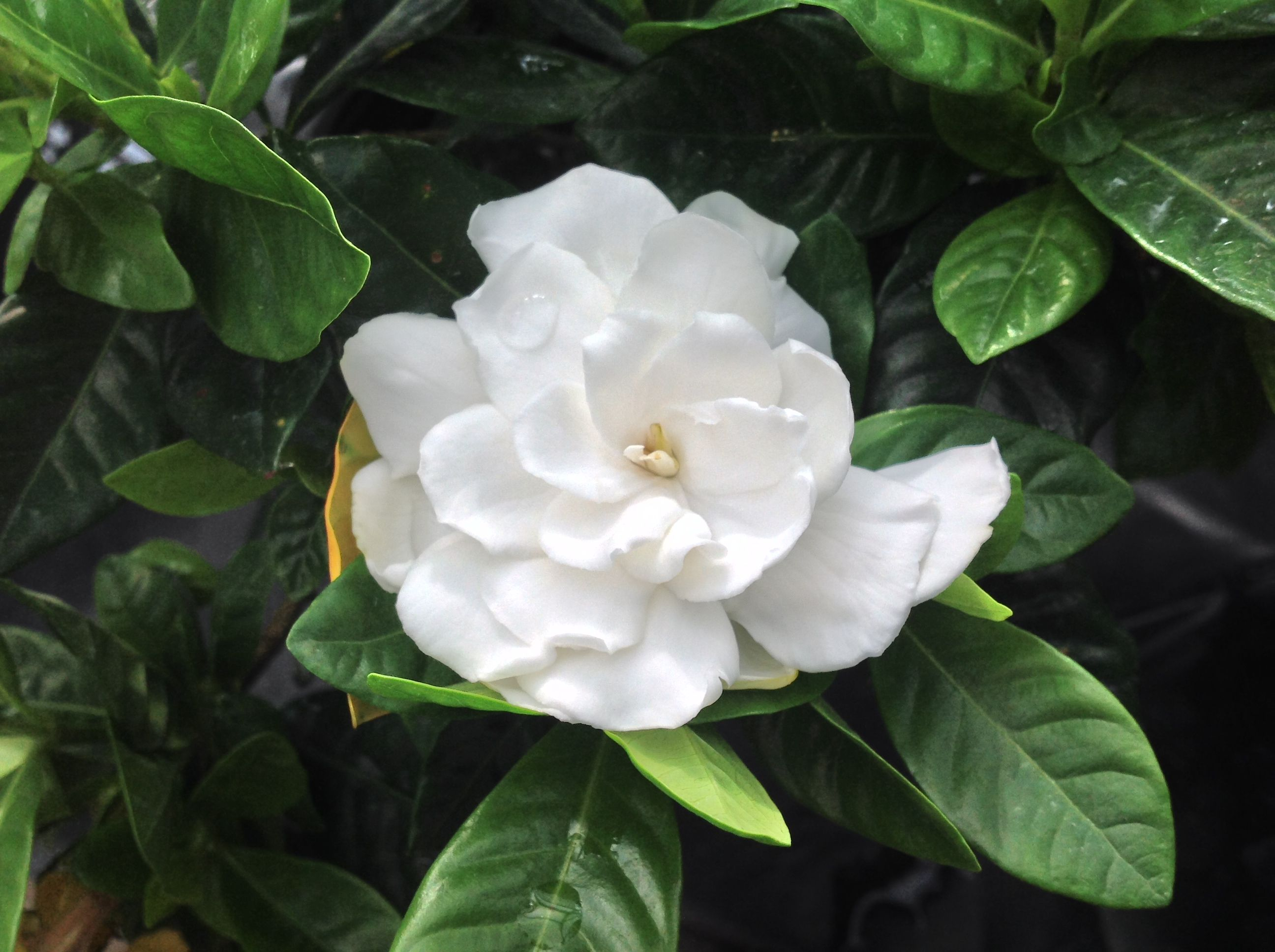 A Single Gardenia Blossom The Fragrance Is Incredible White