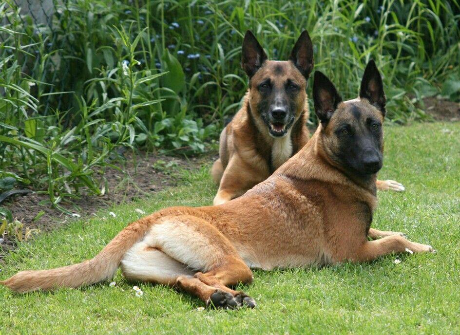Malinois Hundin Asita Und Rude Simon Belgian Malinois Dog