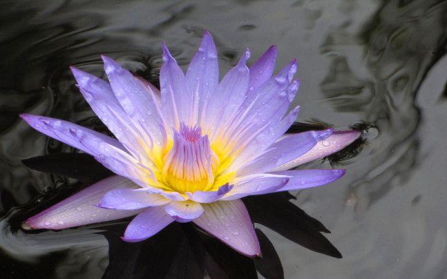 Jaune Jolie Fleurs Lac Nenuphar Petale Violet Fleurs Nenuphar Nenuphar Jolie Fleur