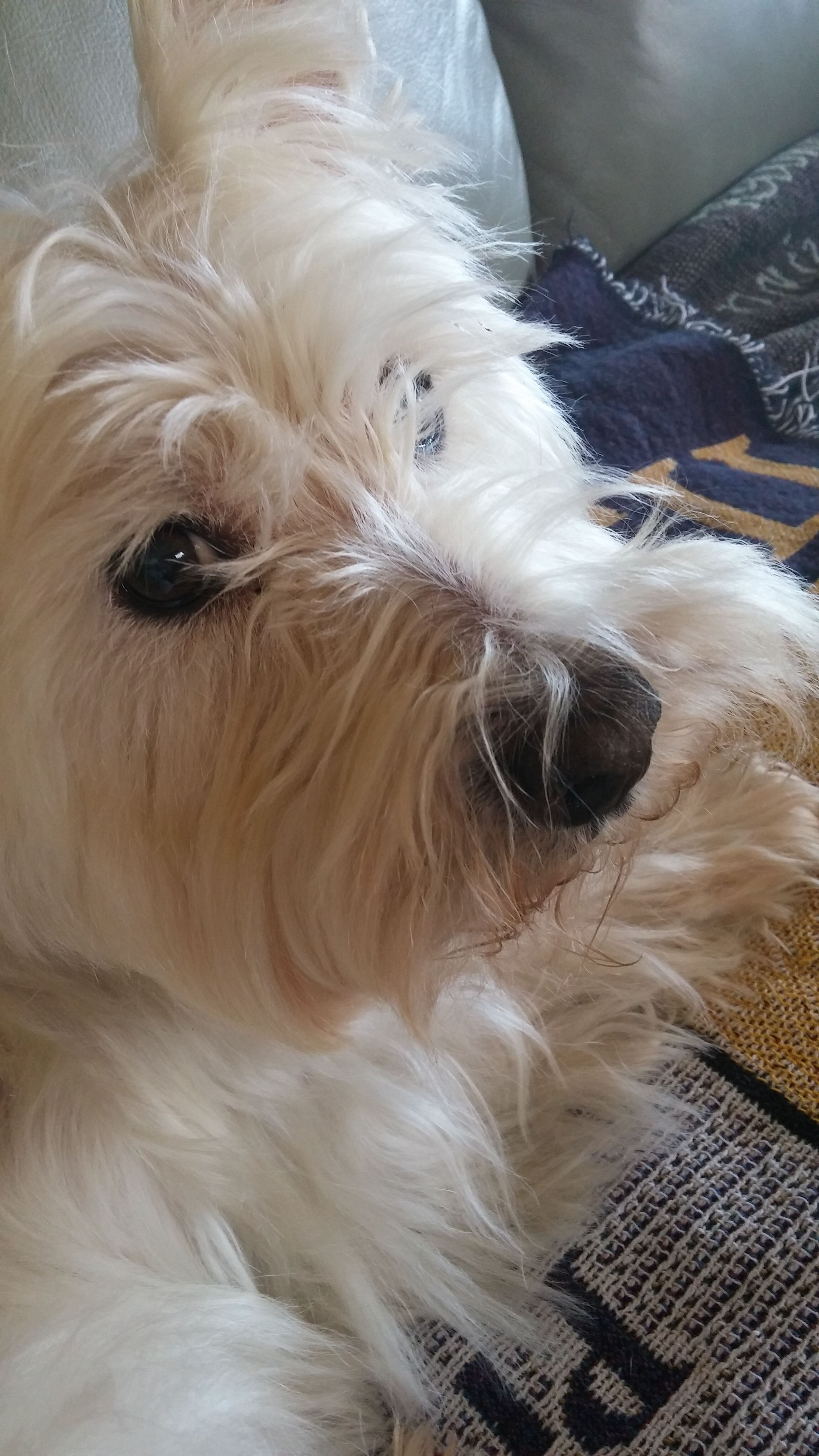 Westie Westies West Highland White Terrier West Highland Terrier