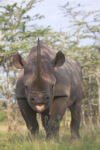 Black rhino                                          (© Keren Su/Getty Images)