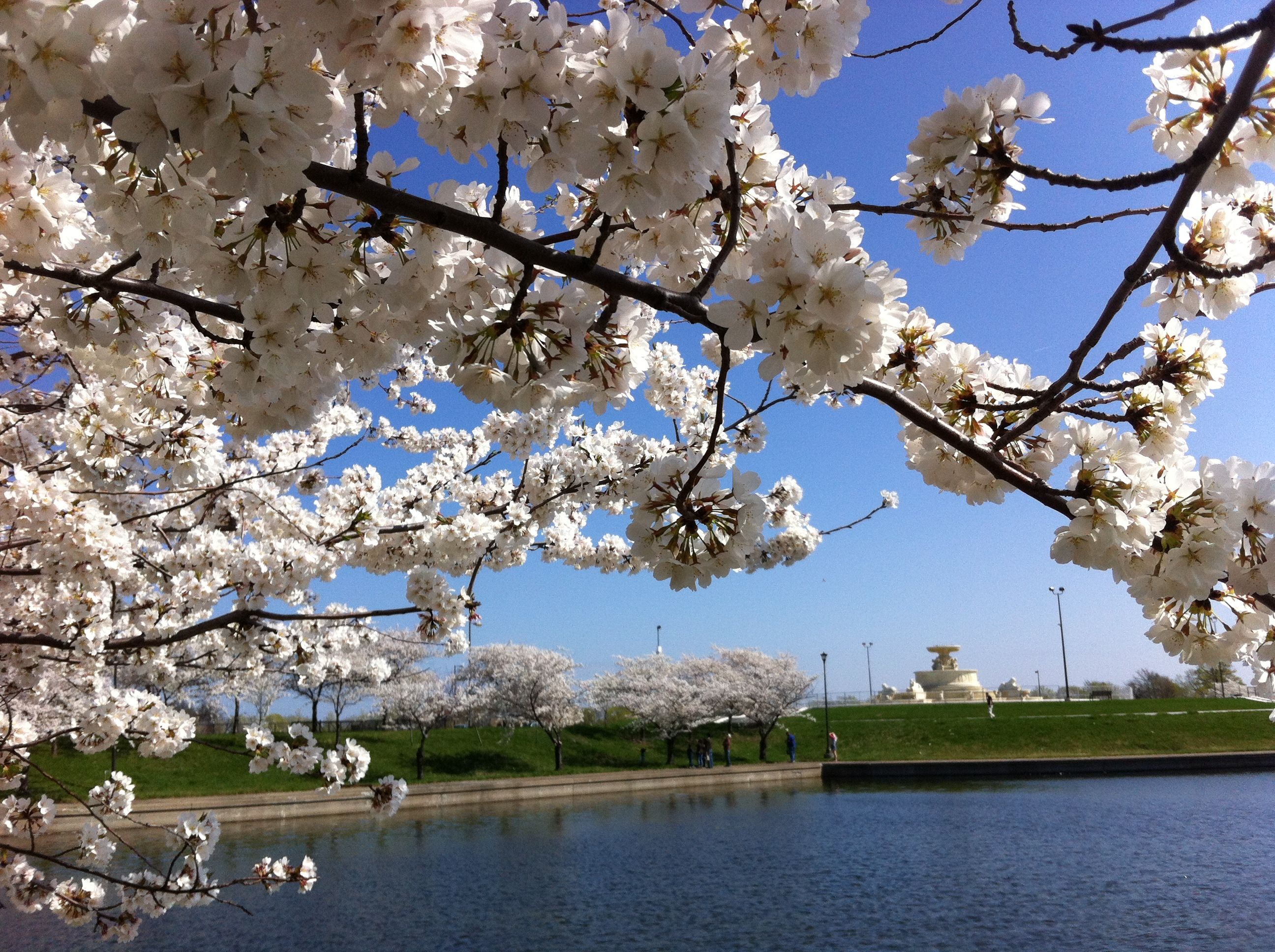 This Is Detroit Cherry Blossoms At Belle Isle Belle Isle Detroit Michigan Michigan