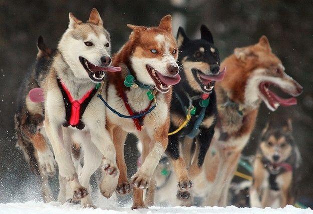 The Dogs Of Iditarod Working Dogs Alaskan Husky Moving To Alaska