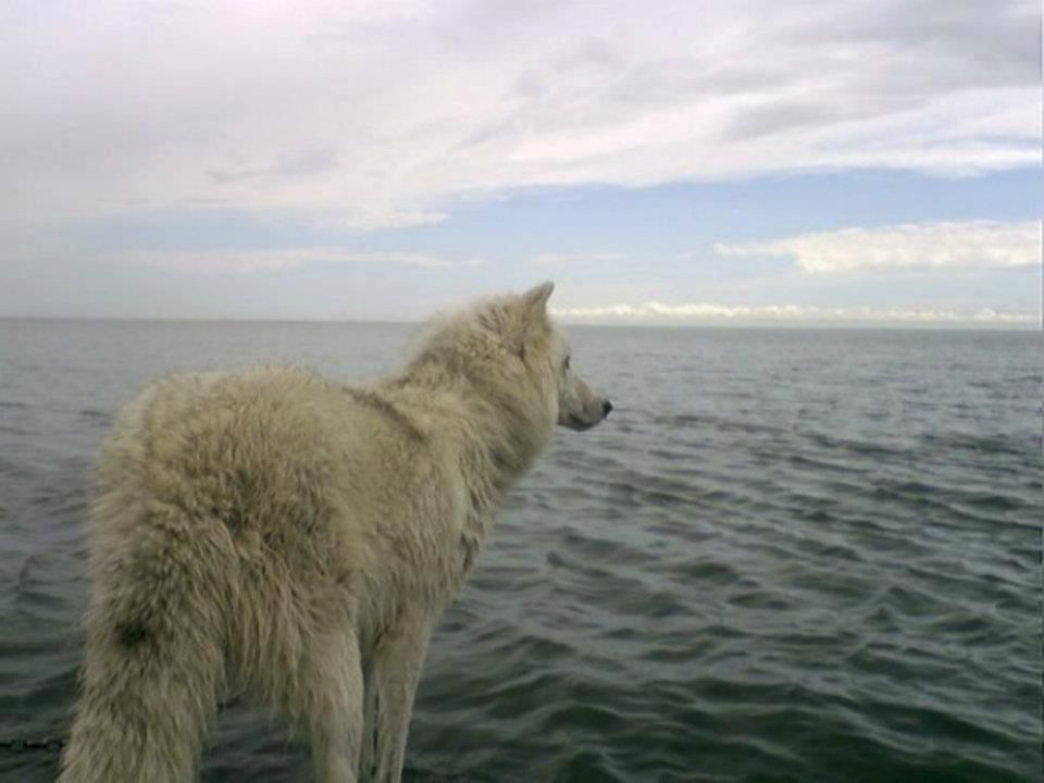 arctic wolf. What will he be thinking?