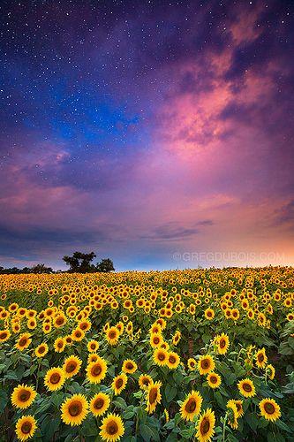 Colby Farm Sunflower Field With Sunrise And Stars Newbury Massachusetts Sunflower Fields Farm Images Sunflower Photography