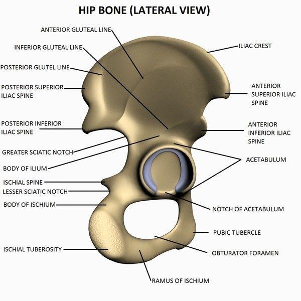Side View Of Hip Bone Diagram Data Wiring Diagram Today
