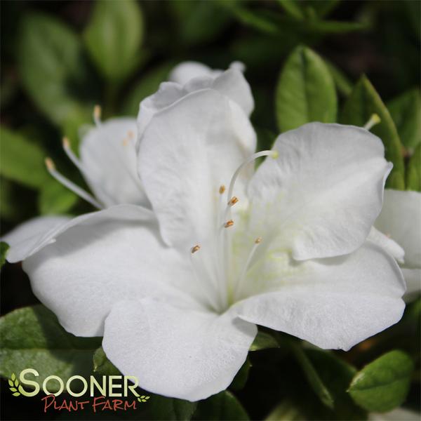BloomAThon® White Azalea AZALEA BLANCA Bloom, White
