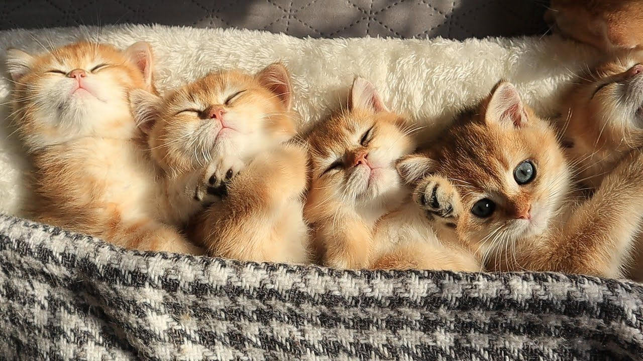 Time For Relaxation Purring And Sleep Cute Baby Kittens Meow Moe In 2020 Kittens Cutest Baby Kittens Baby Kittens