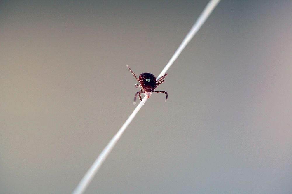 Quick And Easy Tick Removal