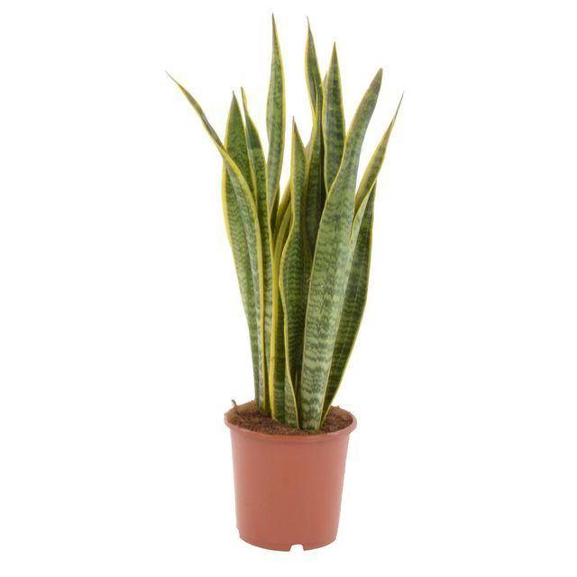 Sansewieria Gwinejska Mix 70 Cm Cactus Plants Plants Cactus