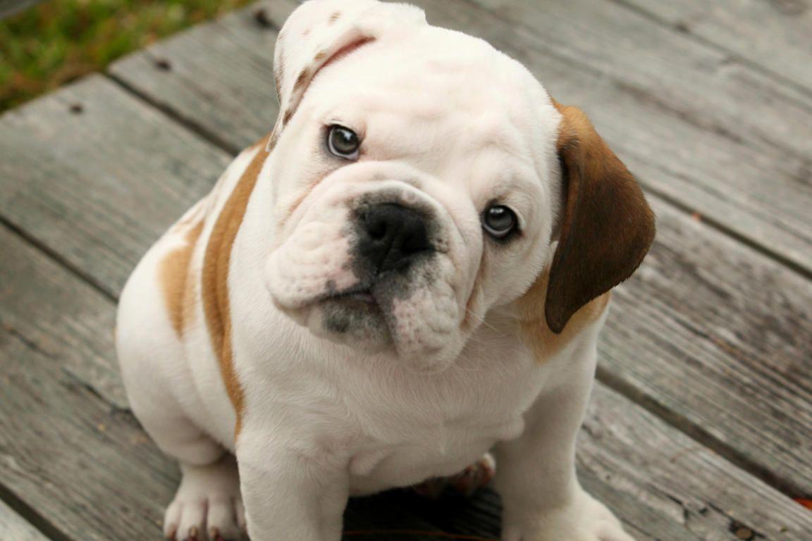 Funny English Bulldog Boxer Mix Puppies Wallpaper English