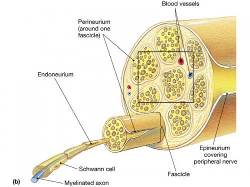 Nerve fibers of the peripheral nervous system are myelinated ...