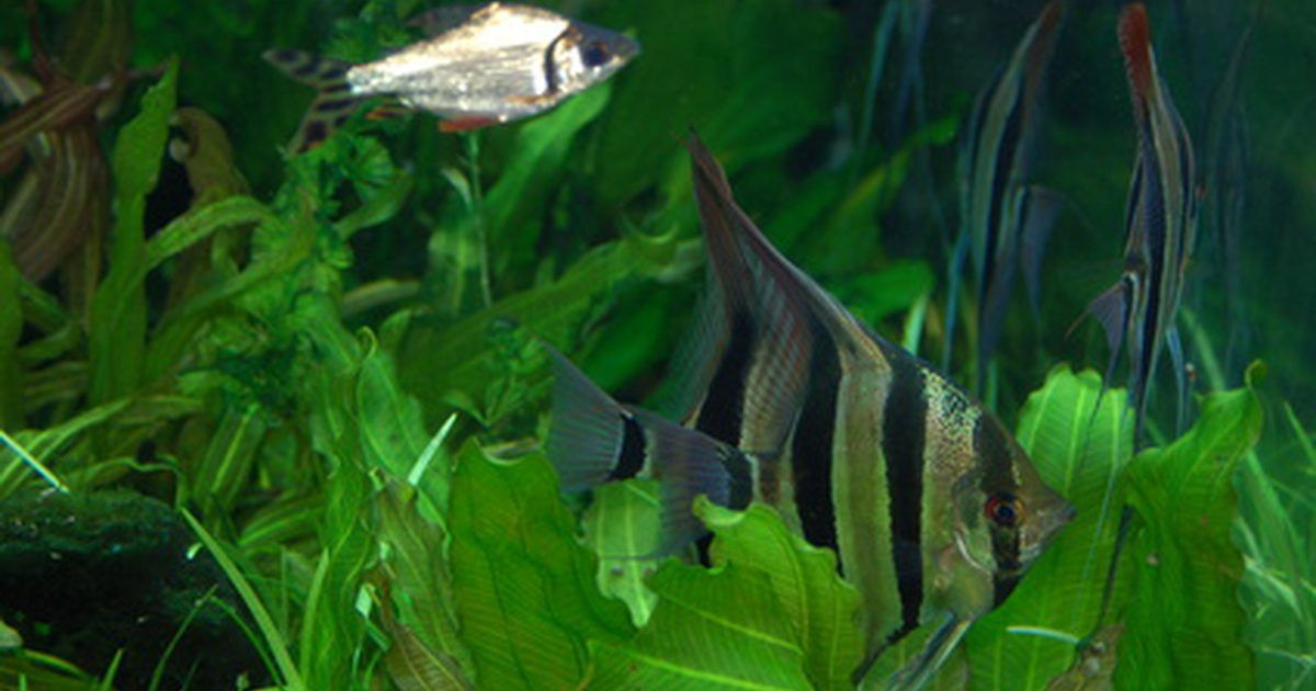 lista de peces tropicales de agua dulce peces de acuario