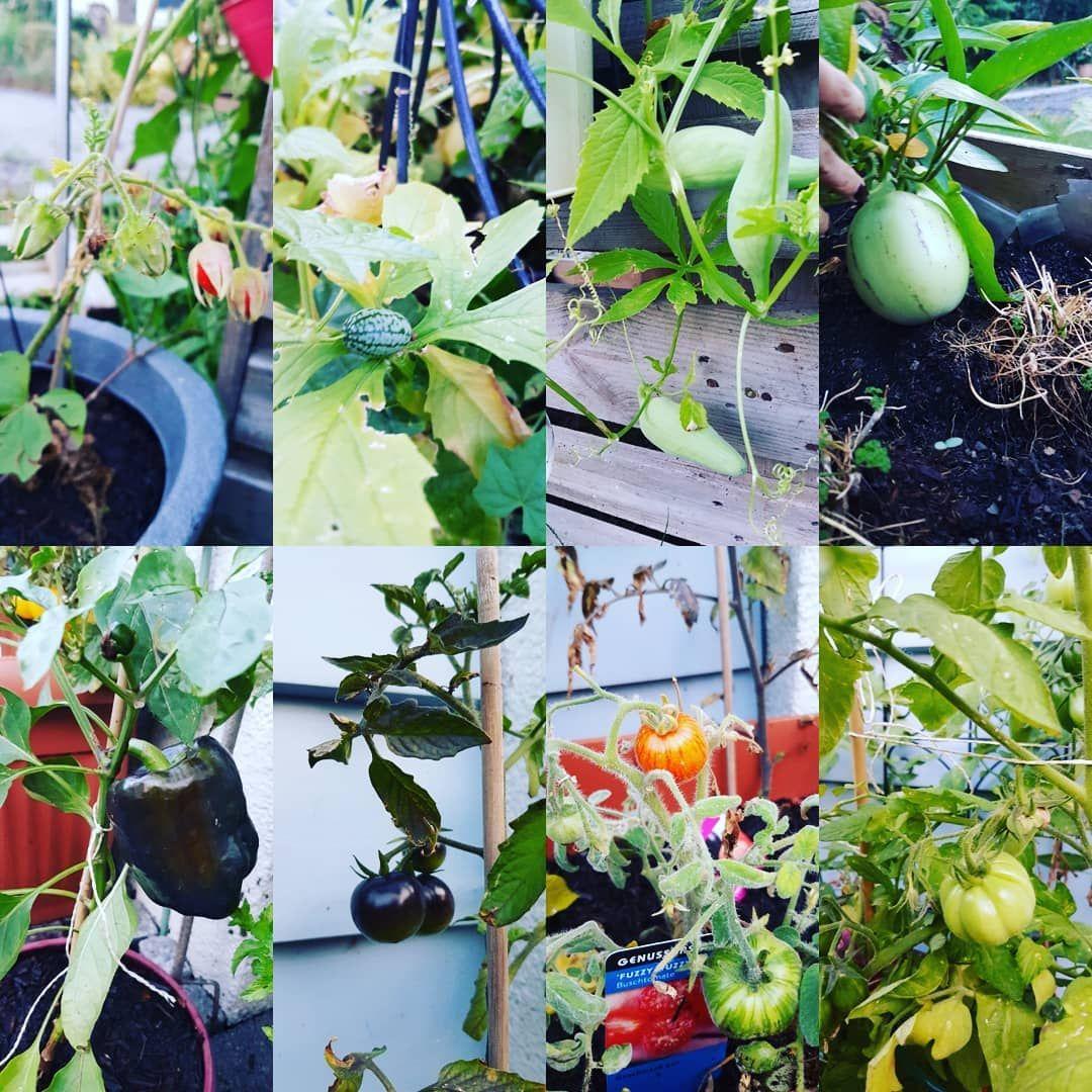 Meine Kleinen Exoten Weiss Jemand Was Die Roten Fruchte In Der Stachelhulle Sind Ich Hab Das Schild Verloren Tomaten Garten Melonenbirne Gardening