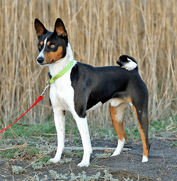 Pin By Mel On Rocky Basenji Dogs Ancient Dog Breeds Ancient Dogs