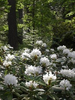 "rhododendron ""Boule de Neige"", erityisen hyvä talvenkesto, tolerates winter excellently"