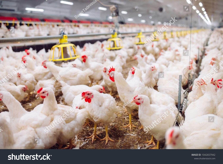 Indoors chicken farm, chicken feeding Royalty Free image