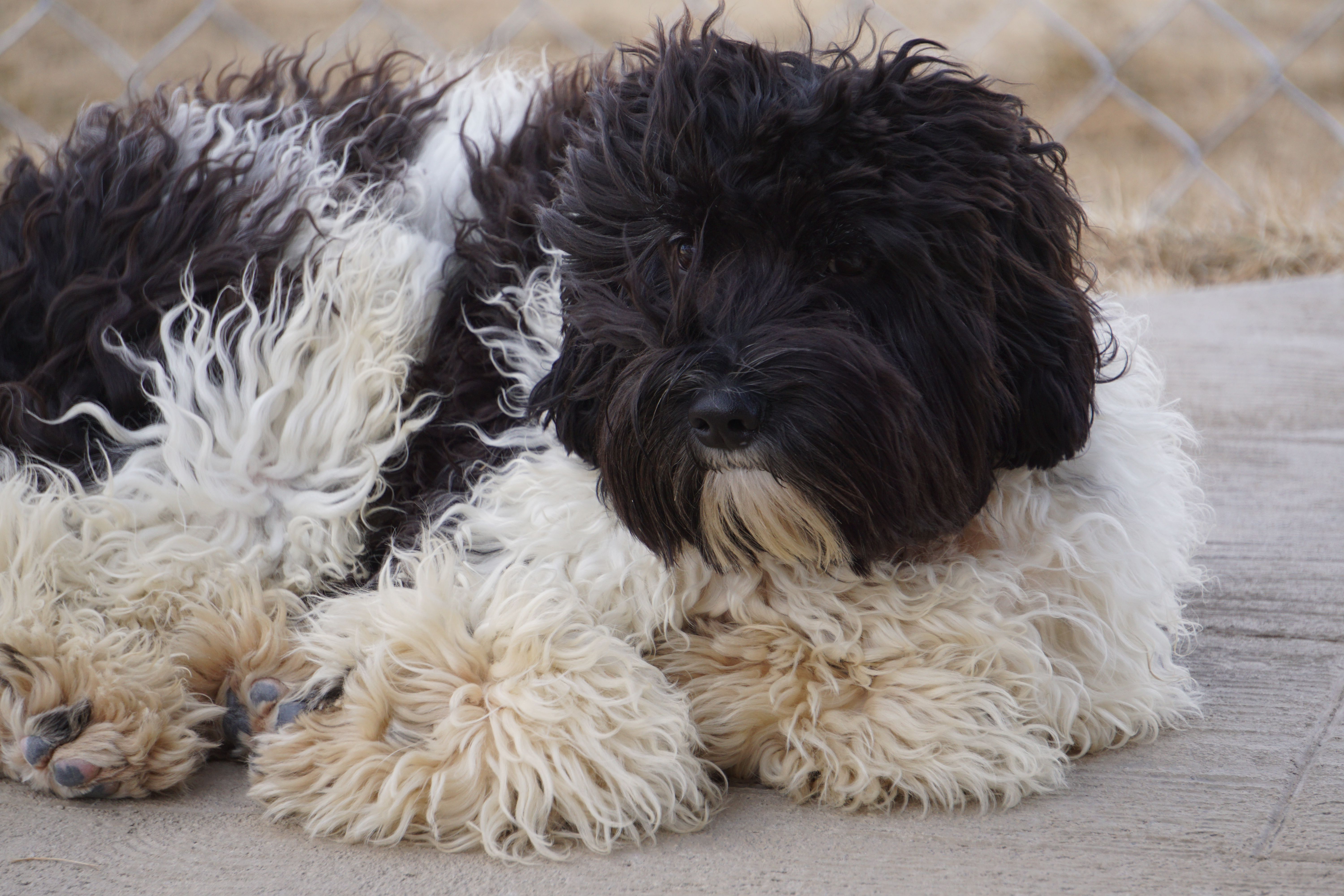 Black White Parti Australian Labradoodle Stud Carries For