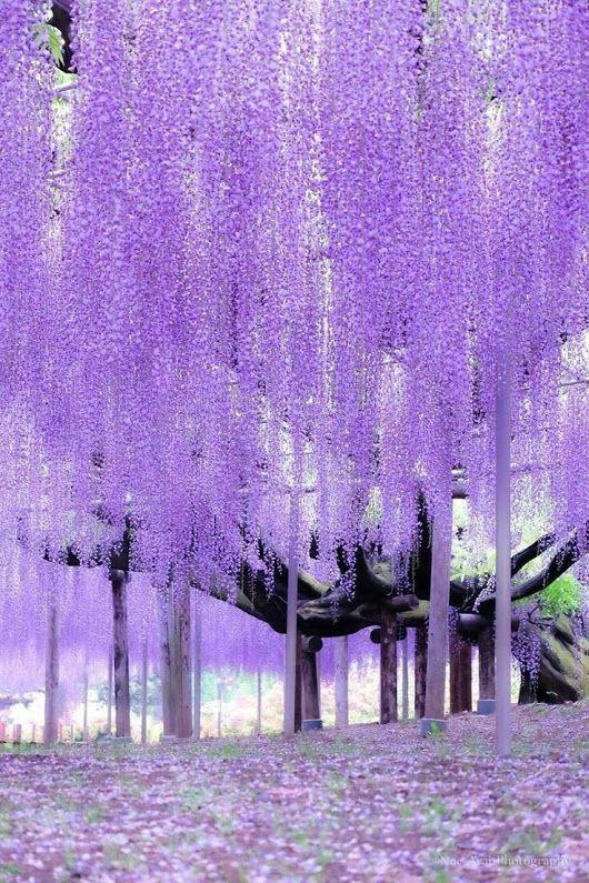 Pin By Mbolduc On C O L O R S L I F E Spring Wallpaper Beautiful Flowers Ashikaga Flower Park Beautiful purple wallpaper hd
