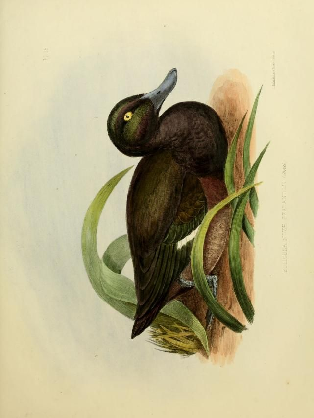 nz duck - 1844 - The zoology of the voyage of the H.M.S. Erebus & Terror, under the command of Captain Sir James Clark Ross, during the years 1839-43. by Sir  John Richardson