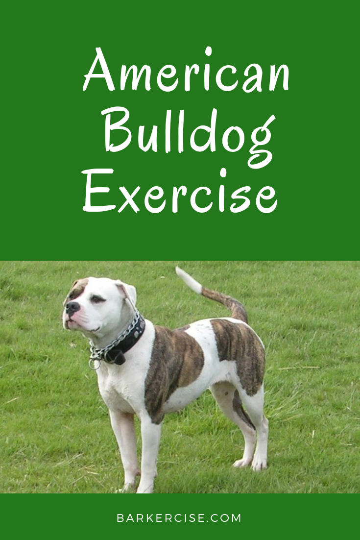 American Bulldog Exercise American Bulldog Puppies American Bulldog Bulldog Puppies
