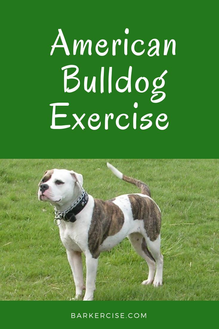 American Bulldog Exercise American Bulldog Puppies American Bulldog Bulldog Puppies