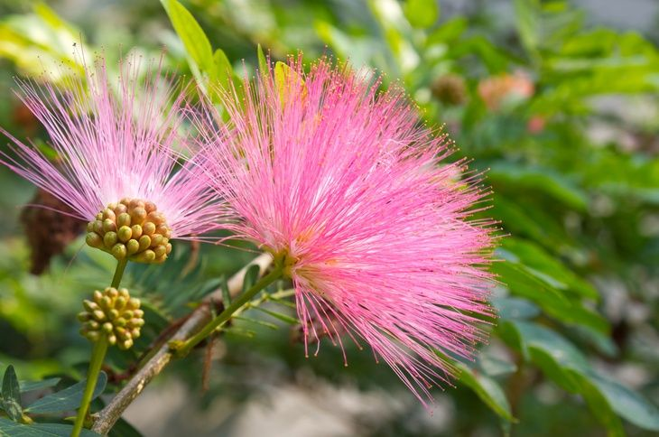 Garden Ambition Organic Gardening For Beginners List Of Flowers Mimosa Tree Flower Meanings