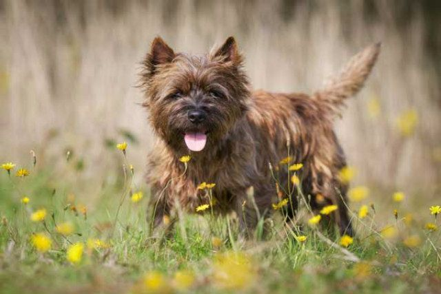 What Are The Dogs That Bark The Most Cairn Terrier Puppies