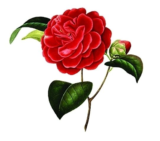 Red Camellia Flower You Re A Flame In My Heart Flowers Camellia Flower Body Art Tattoos