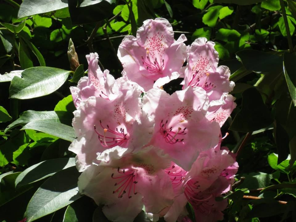The beautiful Rhododendron Walk at Powerscourt Gardens in