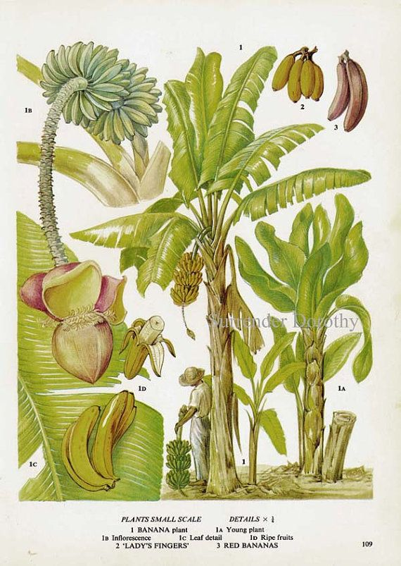 The Banana Palm in various stages of growth (mature and immature), with bananas (ripe and unripe). Botanical illustration of fruit from a volume of edible plants and herbs, early 1970s. Lithograph