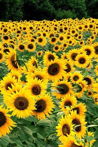 Field Of Sunflowers Kentucky Free Photography Full Hd Free