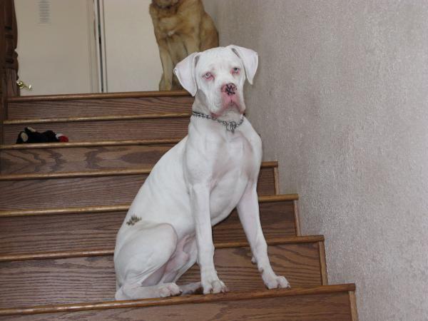 White Boxer Blue Eyes | dogs | Pinterest | Blue eyes and Dog
