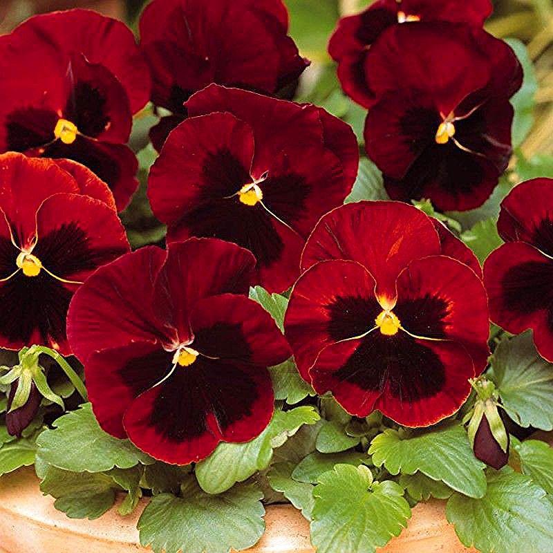 گل بنفشه با نام انگلیسی Pansy و نام علمی Sp Viola از خانواده بنفشگان Violaceae گیاهی است علفی و چندساله که البته به صورت یک In 2020 Pansies Flowers Pansies Flowers