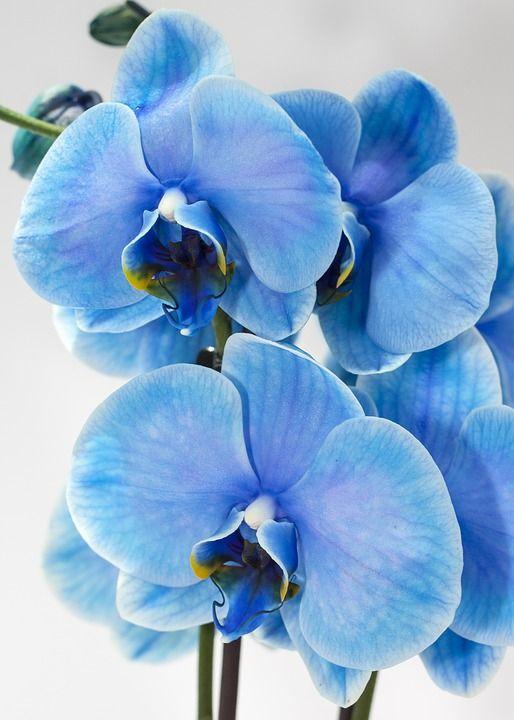 fiore phalaenopsis