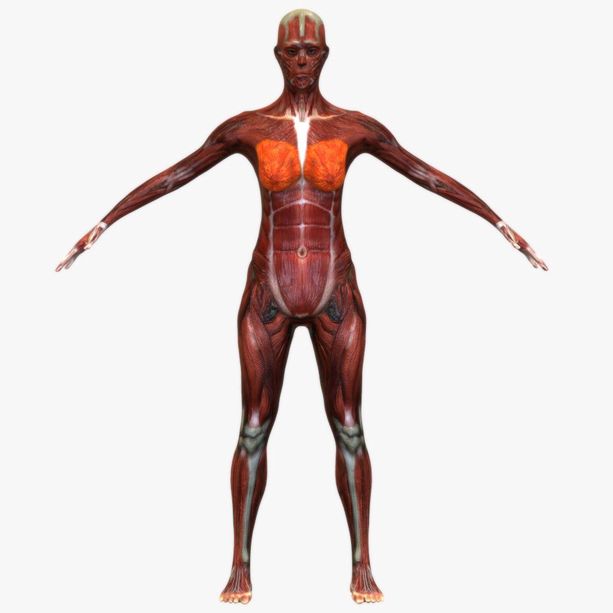 3d model female muscular anatomy   Medical   Pinterest   3d anatomy ...