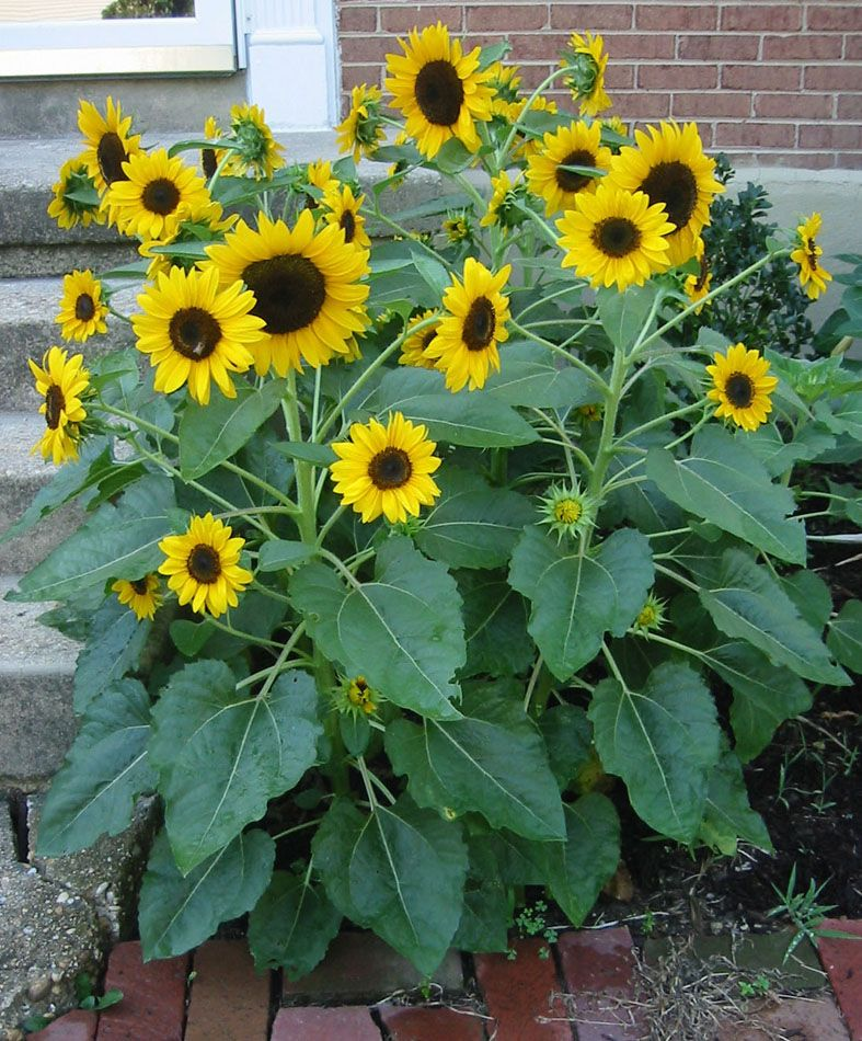 Burpee Elf Sunflowers Types Of Sunflowers Planting Sunflowers Sunflower