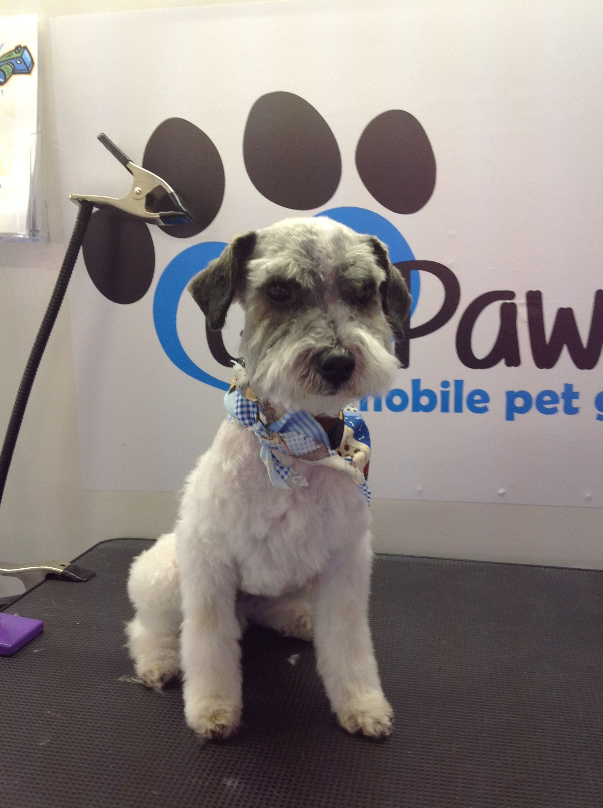 schnoodle Mobile pet grooming, Schnoodle, Pet grooming