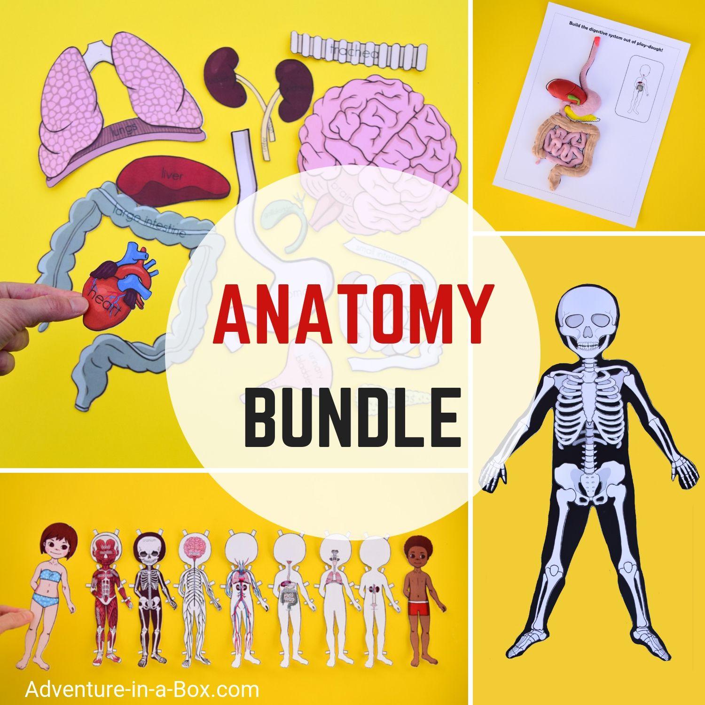 Anatomy For Kids Printable Bundle For Studying Human Body